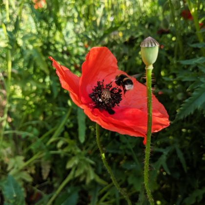 CONTAO_NATURE_THEME_Hummel_an_Mohn